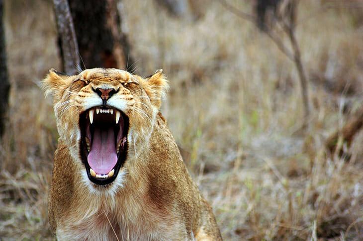 lion communique
